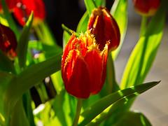 Frohe Ostern - Happy Easter - Joyeuses Pâques! (schreibtnix on 'n off) Tags: deutschland germany bergischgladbach frühling springtime pflanzen plants blüte blossom tulpen tulips nahaufnahme closeup froheostern happyeaster joyeusespâques olympuse5 schreibtnix