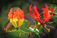 Gloriosa sp. (Uhlenhorst) Tags: 2018 australia australien flowers blumen blossoms blüten plants pflanzen travel reisen