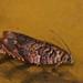 Gypsonoma minutana - Poplar tortricid - Листовёртка тополёвая