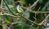 Blue tit (Adam Swaine) Tags: tits bluetit gardenbirds englishbirds britishbirds wildlife peckhamryepark uk england english woodland spring nature naturelovers ukcounties canon animals seasons cyanistescaeruleus