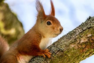 Eichhörnchen - Wiewiórka - Squirrel - (Sciurus vulgaris)
