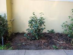 Camellia Japonica Kumasaka (pr0digie) Tags: camellia flower plant bush hedge landscaping