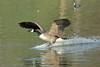 Every body's going surfing (david.england18) Tags: canadagoose goose queensparkheywood locallake lively canon7dmkll canonef70200mmf28lisllusm birdsuk