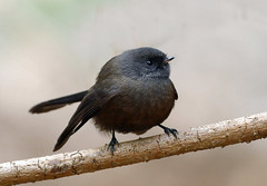 New Zealand fantail (Rhipidura fuliginosa) (Bernard Spragg) Tags: newzealandfantail rhipidurafuliginosa nature blackbird lumix smallbirds newzealandbirds explorenaturethewildnature