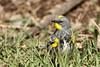 Yellow-rumped Warbler (Audubon's),  Setophaga coronata (jlcummins - Washington State) Tags: birds tiptonroad washingtonstate kittitascounty tamronsp150600mmf563divcusd canon wildlife nature yellowrumpedwarbler setophagacoronata