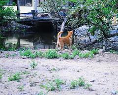 ,, Impeding Progress ,, (Jon in Thailand) Tags: wildlife mama dog k9 primate monkey ape reflection swamp yellow green aggressiveprimate jungle nikon d300 nikkor 175528 dogtail dogears littledoglaughedstories