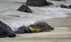 Green Sea Turtle (Honu) (Brad Rangell) Tags: greenseaturtle turtle reptile honu beach pacificocean maui hawaii island outdoors earthday