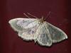 Phlyctaenia perlucidalis - Fenland pearl (Cossus) Tags: crambidae phlyctaenia pyraustinae огнёвка пестово 2010