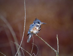 Belted Kingfisher (George McHenry Photography) Tags: kingfisher beltedkingfisher birds waterbirds southcarolina southcarolinabirds