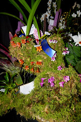 the 2018 pacific orchid exposition: exhibit display (nolehace) Tags: exhibit display 218 poe winter nolehace fz1000 sfos pacificorchidexposition pacific orchid exposition flower plant bloom sanfrancisco