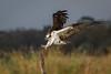 Fish Stick (gseloff) Tags: osprey bird flight bif landing perch weatheredwood snag wildlife nature animal bayou mudlake pasadena texas kayak gseloff