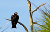 Black Vulture (Coragyps atratus);  Punta Gorda, FL, Charlotte Harbor Environmental Center [Lou Feltz] (deserttoad) Tags: nature water animal park florida bird wildbird swamp raptor vulture behavior