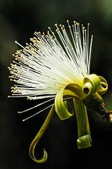 Pseudobombax ellipticum 'Alba' - White Shaving Brush (Roniyo888) Tags: pseudobombax ellipticum alba white shaving brush flower silky stamen yellow pollen