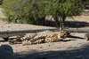 The eyes of the cheeta (danieleeffe1) Tags: cheeta sir bani yaas island nature sunny lazy sunday desert green sun eyes dots spots fast nikon d7100 18140mm