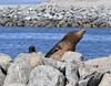 Diva! (MJ Harbey) Tags: rock animal water sealion mammal nikon d3300 nikond3300 mosslanding usa california