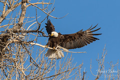Female Bald Eagle returns to the nest - 20 of 29