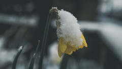 Snow Daffodil Explore! (Coolcats100) Tags: daffodil snow 2018 march flower coolcats100 canon 70d sigma bokeh explore