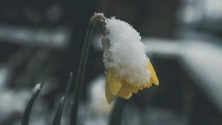 Snow Daffodil Explore!