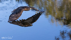 Red-tailed Hawk_T3W1611 (Alfred J. Lockwood Photography) Tags: alfredjlockwood birds redtailedhawk canadianraptorconservancy crc canada flight reflection pond autumn morning ontario