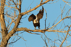 Bald Eagle launch in the morning light - 2 of 13