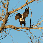 Bald Eagle launch in the morning light - 2 of 13 thumbnail