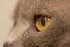 Scottish Fold (serge.katzmann) Tags: scottish fold cat macro eye
