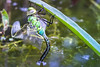 Newly hatched Dragonfly (Of Light & Lenses) Tags: dragonfly cocoon firstflight hatch newlyhatched libelle larva larve verpuppung verpuppt olympus pond mzuiko2860mm zuiko28 60mmmacro teich wings macro bokeh beautyful insects em1