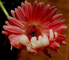 Winking (Schagie) Tags: gerbera bloem flower bloei roze pink groei zon sun licht light