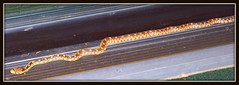 THE OCCASIONAL VISITOR (Gary Post) Tags: the occasional visitor gopher snake