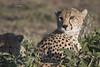 Cheetah portrait (featherweight2009) Tags: cheetah acinonyxjubatus bigcats wildcats felines mammals africa