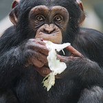 Young chimpanzee with salad thumbnail