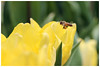 Bee happy life (Alice 2018) Tags: 2018 bokeh spring yellow fly flying nature canonef70200mmf4lisusm canoneos7d bee canon flower tulip saariysqualitypictures aatvl01 fantasticnature