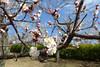 18n0704 (kimagurenote) Tags: せたがや梅まつり 梅ヶ丘 羽根木公園 umegaoka park setagaya plum blossom festival ウメ ume prunus prunusmume flower 東京都世田谷区 setagayatokyo
