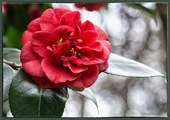 Camellia with Bokeh (Missy2004) Tags: nikkorafsmicro85mmi35ged hilliergardens camellia flower red