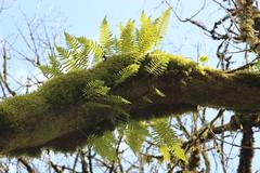 Tualatin Hills Nature Park, Beaverton OR (nikname) Tags: tualatinhillsnaturepark beavertonor urbanparks oregonparks forest trees moss mossybranches mossytrees ferns fernsontrees fernybranches