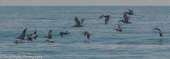 Flock of Pelicans (mylesfox) Tags: pelicans flock flight sea ocean beach