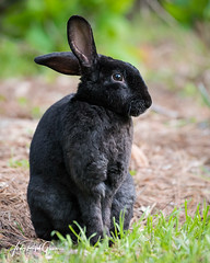 """""""Lo and Behold!"""" a black bunny right before Easter! - Judy Royal Glenn Photography (Judy Royal Glenn) Tags: 2018 georgiaplaces march march16 stsimons stsimonsisland unitedstates animals bunnies bunny rabbit rabbits nature naturephotography wildlife wildlifephotography judyroyalglennphotography judyroyalglenn christianphotographer wildlifeandnaturephotographer animal easterbunny easterrabbit easter easter2018"""