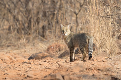 Jungle Cat | Felis chaus in Ranthambhore National Park (Paul B Jones) Tags: india junglecat felischaus ranthambhorenationalpark rajasthan nature wildlife canon eos1dxmarkii ef500mmf4lisiiusm cat wildcat asia asian tourist tourism travel ecotourism indian indiya inde indien indië safari