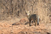 Jungle Cat | Felis chaus in Ranthambhore National Park (Paul B Jones) Tags: india junglecat felischaus ranthambhorenationalpark rajasthan nature wildlife canon eos1dxmarkii ef500mmf4lisiiusm cat wildcat asia asian tourist tourism travel ecotourism indian indiya inde indien indië safari