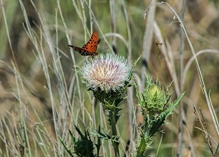 Thistle Visitor