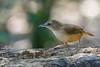 Abbott's Babbler (Ard.Pixtures) Tags: bird birds birding birdphotography birdwatching birdwatcher babbler nikon nikonflickraward nikkor d750 200500mm aperture jungle wild wildlife forest