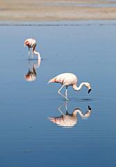 duo (daniel.virella) Tags: reflection reflex andes suramérica américa chaxa atacama chile salar flamingo lagoon water lake sky picmonkey