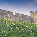 York: City Walls and Daffodils thumbnail