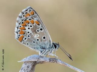 Mariposa (Lycaenidae)
