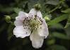 Blackberry Magic (Jack Heald) Tags: blackberry flower blossom rain spring atlanta heald jack d750 nikon macro
