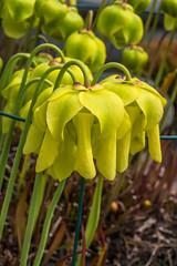 Sarracenia flava (Yellow Pitcher Plant) (jimf_29605) Tags: sarraceniaflava yellowpitcherplant frontyard boggarden greenville southcarolina sony a7rii 90mm