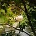 Australian White Ibis 2