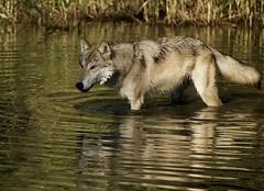 Wolf stare... (tvdflickr) Tags: wolf timber montana water animal wildlife photobytomdriggers thomasdriggersphotography photosbythomasdriggers tvdimages d750 nikon nikond750 fx lake stream river