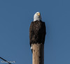Bald on Pole (leupold1) Tags: bald eagles