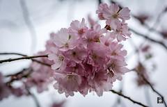 Springtime,.....April 2018 (Willem Vernooy (FoToWillem)) Tags: spring springtime lente jaargetijde bloessem voorjaar dutchspring nederland netherlands niederlande holland hollanda holandes holande gorinchem natuur nature landschap landscape flower fotowillem willemvernooy ftw